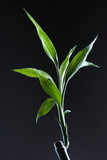 lucky bamboo. poster