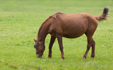 grazing horse poster
