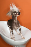 Chinese Crested dog portrait. poster