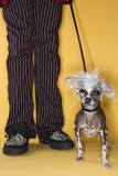 Chinese Crested dog on leash with man. poster