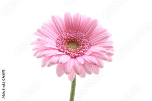 Tuinposter Gerbera pink