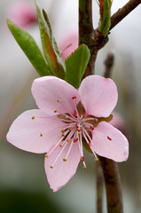 close-up photo of peach flower
