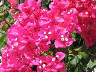 bucanvillea rosa