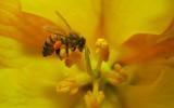 bee gathering pollen poster