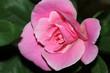 inside pink rose
