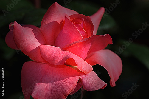 rose in the shade