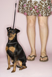 Caucasian female legs with dog on leash. poster