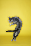 Gray striped cat twisting in air. poster