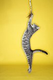 Gray striped cat  jumping attacking toy. poster