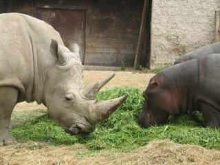 rinoceronte e ippopotamo