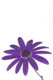senetti deep blue and stem poster