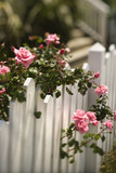 Roses growing over fence. poster