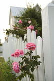 Pink roses growing over white picket fence. poster