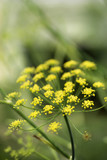 Yellow cluster bloom on plant. poster