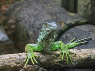 green iguana drying manicure