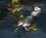 Otter swimming in aquarium in Lisbon, Spain. poster
