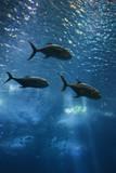 Fish swimming in aquarium in Lisbon, Spain. poster