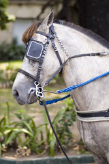 white horse with eye patch