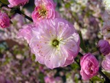 pink flowers of decorative garden bush poster