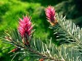 amaranthine spruce male flowers poster