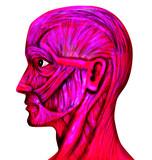 facial muscular system poster