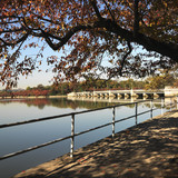 tree by tidal basin poster