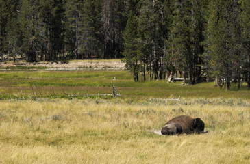 sleeping bison