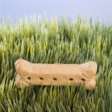 dog treat laying in grass. poster