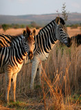 zebra family  portrait in game reserve with beautiful mane poster