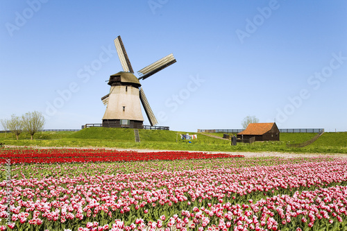 tulips and windmill 5