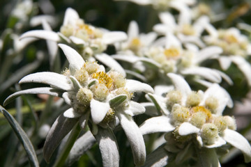edelweiss - wild beautiful rare flowers (symbol of
