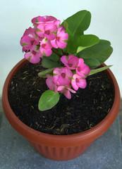 euphorbia mili-mili pink flower