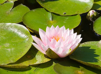 magnificent exotic lotus (water lily) flower