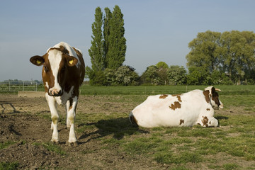 two brown - white cows