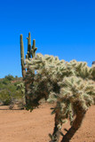 cholla and saguaro
