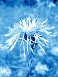 flower in blue misty poster