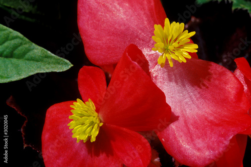 red begonia flowers