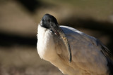 ibis poster