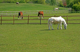 horses and cattle grazing poster
