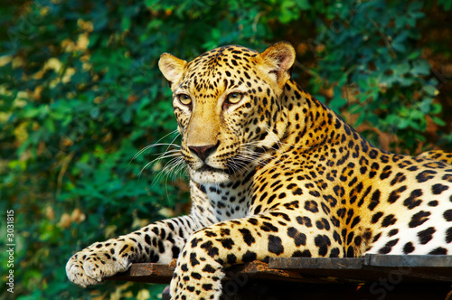Canvas Luipaard leopard cat