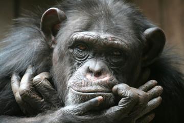 Closeup of young chimpanzee looking at you © Carl Olav
