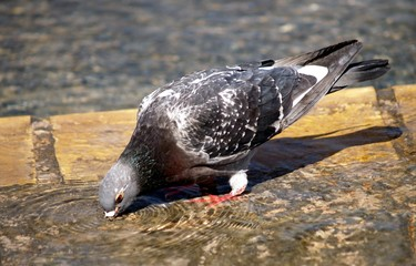 drinking pigeon in water