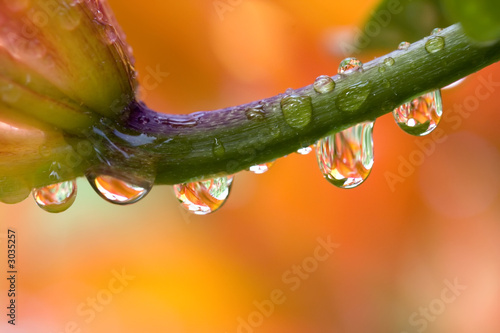 daylily with water drops