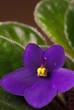 african violet vertical