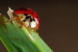 lady bug macro 02