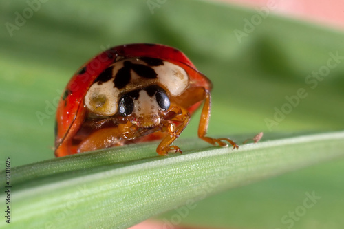 ladybug close up