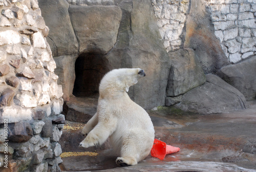 white bear is playing in the zoo