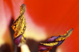 pollen and stem in red tulip poster