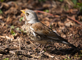 fieldfare close-up