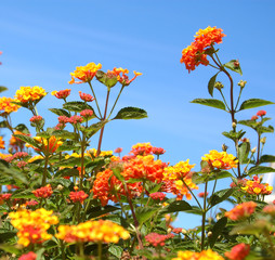 orange lantana in full bloom